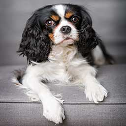 Pet Boarding - King Charles Spaniel