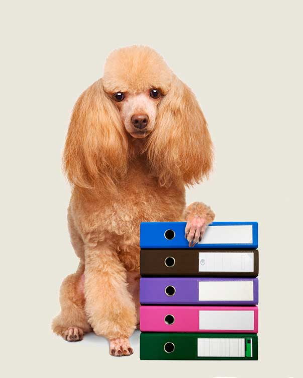 Image of Poodle for documents page
